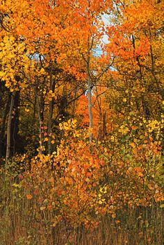 "***""Aspen Expressionist"" (Colorado) by Johnny Gomez c. Zen Pictures, Fall Pictures, Beautiful World, Beautiful Places, Art Beat, Picture Tree, Aspen Trees, Autumn Scenery, Colorful Trees"