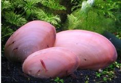 Pink freshwater oysters