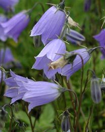 Campanula cochleariifolia 'Bavaria Blue' - Zwerg-Glockenblume