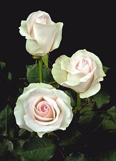 Bridal Akito - Standard Rose - Roses - Flowers by category | Sierra Flower Finder