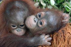 Red Orangutangen: Adoptér Meryl