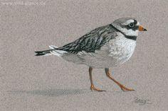 Ringed Plover Postcard- Common Ringed Plover, Sandregenpfeifer
