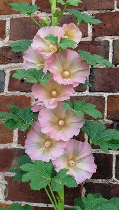 Pale pink Hollyhock. I forgot about these beauties.