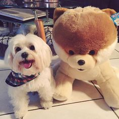 Humans aren't the only ones who love Boo! Our plush pals are perfect companions. Here's an adorable shot of our Boo plush with his stylish new friend, a Maltese puppy! World Cutest Dog, Pomeranian, Maltese, New Friends, Cute Dogs, Plush, Teddy Bear, Puppies, Animals