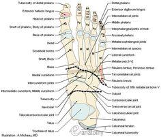Joints Of The Foot Diagram 1996 Acura Integra Speaker Wiring 18 Best Principles Bone Unit Images Human Anatomy Bones Muscular Atta Sesamoid