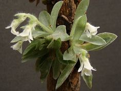 Grupo Orquideófilo del Norte Santafesino: Orquídeas argentinas - Lankesterella ceracifolia