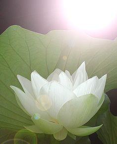 Lotus Flower - DSCN7925 by Bahman Farzad, via Flickr