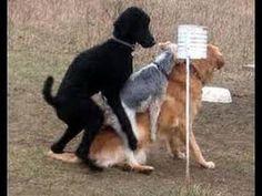 Juguete del perro de caniche raza apareamiento En Love_Amazing hace el amor
