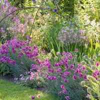 Spring Combination Ideas, Plant Combinations, Flowerbeds Ideas, Spring Borders, Summer Borders, Pink Border, Erysimum 'Bowles' Mauve', Wallflower, Dianthus Laced Monarch, Pink Laced Monarch, Allium Fistulosum, Salvia Caradonna, Campanula Persicifolia