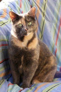 "Harlequin cat - I had a tortoiseshell cat. * * "" JUST CUZ I IZ HARLEQUIN, DOESN'T MEAN YOO KIN CLOWN AROUND WIF ME."""
