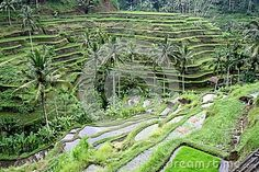 Rice fields in Bali stock image. Image of terraces, terrace - 31729991 Terraces, Ubud, Palms, Fields, Rice, Nature, Image, Decks, Palmas