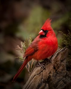 wildography:  Cardinal Photo By: Blair Turrell
