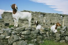 Be a champion in the ring with a Powell-Holman Boer goat. Goats for sale!