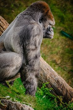 Gorilla. plant based. don't ask him where he gets his protein. powered by plants baby☺