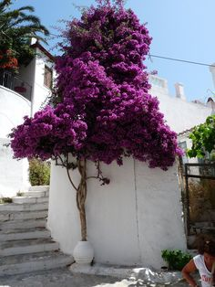 Not sure what kind of flowering tree this is ~ but I think it's beautiful. (Blog post of flowers in Peru)