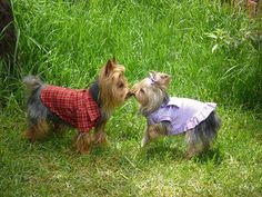 Yorkshiere Terriers love to Kiss kiss~  I ♥ Yorkies