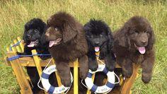 Resultado de imágenes de Google para http://fotos-razas.perrosmania.com/images/cachorros-terranova.jpg