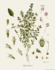 [ Botanical Print: Thymus vulgaris, Thyme ] illustrated by Franz Eugen Kohler (c. 1883-1914). For sale (or admiration). ~ on Missouri Botanical Garden Press mbgpress.info