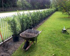 Podocarpus hedge voor en na hedges Hedges Landscaping, Garden Hedges, Tropical Landscaping, Outdoor Landscaping, Front Yard Landscaping, Outdoor Gardens, Privacy Hedge, Backyard Privacy, Privacy Trees