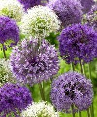 The Tall Big Globe Allium Mixture