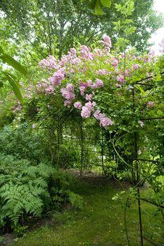 Rosa multiflora 'Blush Rambler' (Cant, 1903)
