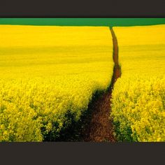 Always an amazing challenge to capture the brilliant yellow of mustard fields.