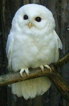 Snowy Owl clipart big eye - pin to your gallery. Explore what was found for the snowy owl clipart big eye Baby Owls, Baby Animals, Cute Animals, Owl Photos, Owl Pictures, Nature Pictures, Beautiful Pictures, Beautiful Owl, Animals Beautiful
