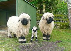These are the cutest stinkin' sheep! Valais Sheep.