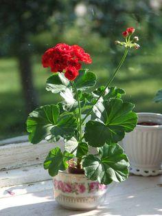 Easy To Grow Houseplants Clean the Air Pelargon Pelargonium Olga Rosebud Rosenpelargon Summer Flowers, Beautiful Flowers, Easy To Grow Houseplants, Shasta Daisies, Hardy Geranium, Red Geraniums, Primroses, Garden Journal, Table Flowers