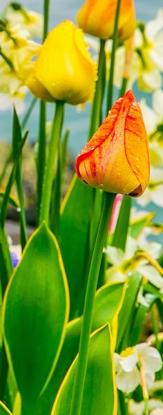 Tulips, Flowers on Lake Geneva, with Swiss Alps, Montreux, Switzerland (Europe travel, vacation)