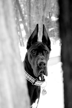 Black great dane. Melissa Ricca Photography