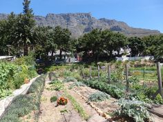 In the City Bowl of Cape Town you will find the Oranjezicht City Farm (OZCF) where they celebrate local food, culture and community through urban farming. City Farm, Urban Farming, Sustainability, Vineyard, Dolores Park, Environment, Travel, Outdoor, Outdoors