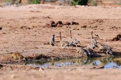 Mongoose and suricates, Addo National Park, South Africa