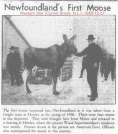 Did you know that the moose is not native to Newfoundland? Newfoundland Canada, Newfoundland And Labrador, Canadian Things, Canada Eh, Atlantic Canada, Canadian History, New Brunswick, Alberta Canada, Nova Scotia