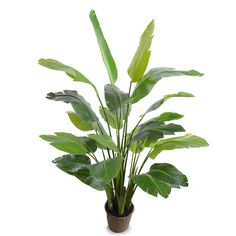 5.5 Traveller's Palm Tree - New Growth Designs
