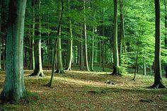 beech forest, Denmark
