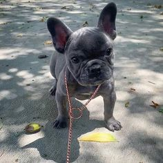 """See our internet site for even more info on """"frenchies"""". It is an excellent place to get more information. Baby Dogs, Pet Dogs, French Bulldog Puppies, French Bulldogs, French Dogs, Cute Creatures, Cute Baby Animals, Cute Puppies, Fur Babies"""