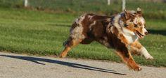 Halo running (Say No More of Imagineer RNX) Aussie Dogs, Australian Shepherds, Aussies, Best Dogs, Halo, Corgi, Running, House, Animals