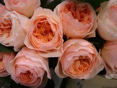 juliet garden rose