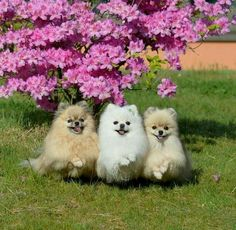 Marvelous Pomeranian Does Your Dog Measure Up and Does It Matter Characteristics. All About Pomeranian Does Your Dog Measure Up and Does It Matter Characteristics. Cute Puppies, Cute Dogs, Dogs And Puppies, Doggies, Animals And Pets, Baby Animals, Cute Animals, Pomeranian Puppy, Chihuahua