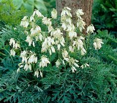 White Fern-Leaf Bleeding Heart - Dicentra Formosa Aurora. Most Bleeding Heart species go dormant in hot weather, but these new varieties will bloom through fall if kept watered. This website has hundreds of shade perennials listed. Any white bloomer brings light to a shady area! I have a pink like this and it has proved very hardy, would like to get this white variety this year....