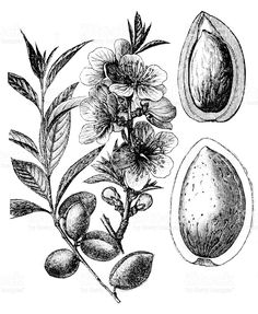 Antique illustration of almond tree Tree Illustration, Antique Illustration, Floral Illustrations, Botanical Illustration, Botanical Line Drawing, Botanical Drawings, Botanical Art, Flower Doodles, Doodle Flowers