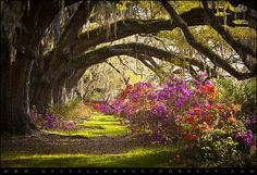 Charleston SC Magnolia Plantation Gardens - Memory Lane by Dave Allen Photography, via Flickr