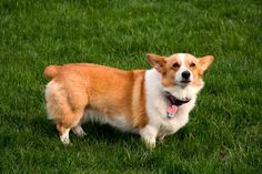 Corgis are known for being Queen Elizabeth's preferred breed and have been favored by the British for more than seventy years.