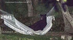 A super chill bear got tired from wandering around and doing bear things, and decided to take a breather in a man's hammock in Daytona Beach, Fla. | This Chill Bear Hung Out In A Backyard Hammock Because He Does What He Wants