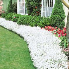 Snow in summer. Fast growing ground cover perfect for areas with poor soil.