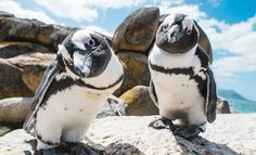 Did you know that SA's best penguin spotting is on the Western Cape coastline at spots including Boulders Beach, Betty's Bay, Robben Island and Gansbaai. Info via South Africa Tourism Cape Town Tourism, Vietnam, South African Wine, African Penguin, Boulder Beach, Anime Sensual, City Pass, Day Tours, Bouldering