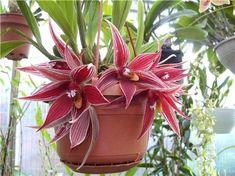 Orchid Paphinia herrerae