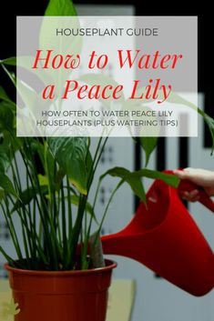 Peace Lily Houseplant Care - How Often to Water Peace Lily Plants Grown Indoors - Home for the Harvest - Watering Houseplants like Peace Lilies! care tips How Often to Water Peace Lily Plants Grown Indoors Peace Lily Plant Care, Peace Plant, Peace Lily Flower, House Plant Care, House Plants, Lilly Plants, Peace Lillies, Fertilizer For Plants, Indoor Plants
