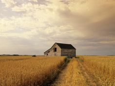 Old Barn in Maturing Spring Wheat Field, Tiger Hills, Manitoba, Canada. Photographic Print by Dave Reede at Art.com